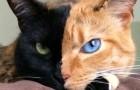 Anche se sembra un fotomontaggio, questo gatto esiste e il video non lascia dubbi
