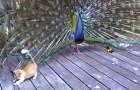 Un pavo real llega a la varanda: mira como reaccionan los gatitos...
