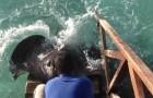 Terwijl een man voedsel gooit voor de vissen, komt er een erg hongerige pijlstaartrog aan zwemmen!