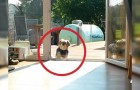 Quando você entender o motivo pelo qual este cãozinho não entra em casa, vai morrer de rir!