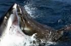 Uma câmera filma um comportamento muito raro entre tubarões brancos