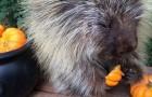This porcupine loves halloween pumpkins !!