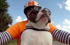 O bulldog mais 'cool' que vocês já viram!