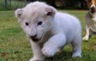 Questo piccolo leone bianco ha finalmente trovato 2 genitori davvero speciali