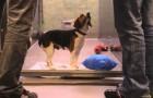 Cette émouvante vidéo montre l'importance d'adopter des chiens dans les refuges