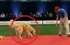 La prueba de este perro es un total DESASTRE pero su simpatia los conquistara!