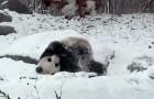 Questo panda esce e trova tutto coperto di neve: la sua reazione è incontenibile