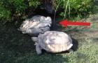 In questa posizione una tartaruga è condannata a morte... ma NON stavolta!