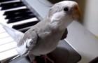 De papegaai maakt een fantastische eigen melodie, bij het horen van de piano