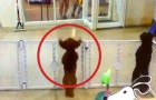 The reaction of this dog when he spots his owner is hilarious !
