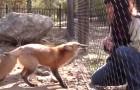 So reagiert dieser Fuchs, als er seine Freundin sieht. Süß.