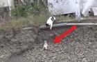 Al principio la madre gata no interviene, pero cuando el peligro se pone serio...!