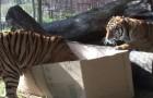 Sie legen einen Karton in den Tigerkäfig. Ihre Reaktion ist der reinste Spaß!