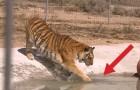 2 tigri vengono salvate e toccano l'acqua per la prima volta: la reazione è stupenda!
