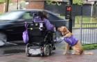 Questa donna disabile ha bisogno di aiuto: ecco cosa fa il cane per lei ogni giorno
