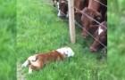 Un bulldog si avvicina alle mucche: la loro reazione è inimmaginabile
