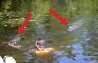 Quando o guia entra na água com o jacaré os turistas não acreditam no que veem!