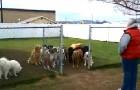 Pone 16 perros atras de un porton: lo que hace es sorprendente y...con final de sorpresa!