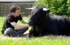 Salvò anni prima questo toro dalla corrida: la loro amicizia vi lascerà senza parole