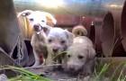 Son llamados para atrapar los perros extraviados de salvar, pero encuentran una entera familia para ser atendidos!