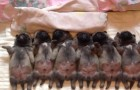 Deze baby mopshondjes slapen SCHATTIG op een rij...