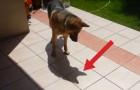Un pastore tedesco scopre la sua ombra: la sua reazione è davvero divertente