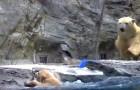 Deze ijsbeerwelp valt in het ijskoude water, gelukkig weet zijn moeder hem op spectaculaire wijze te redden