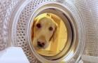 Un chien se dirige vers la machine à laver... ce qu'il a derrière la tête vous fera sourire :)