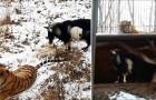 Ils donnent au tigre une chèvre à manger, mais sa réaction va les étonner!