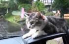 Un gatto determinato contro il tergicristalli