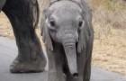 El pequeño elefante se acerca a los turistas...el gesto de la mama los sorprendera