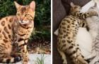 Ecco una delle razze di gatto più belle al mondo... Ed anche la più costosa!