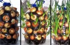 Grow onions in an apartment!? What? Yes! Check it out!