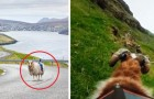 Video  Pecore