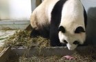 This mama Panda bear unexpectedly sets a world record!