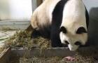 Maman panda vient de donner naissance : ce qu'il se passe juste après est une surprise pour tout le monde