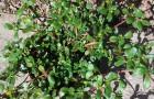 Hast du diese Pflanze im Garten? Dann solltest du damit beginnen, sie zu essen!