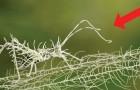 Hervorragende Mimikry: hier das Insekt, was auf Flechten...verschwindet!