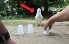 Hij daagt deze meeuw uit voor een spelletje 'balletje balletje': let goed op zijn bewegingen...