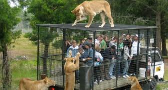Animaux en liberté, visiteurs dans les cages: voici le zoo chinois ... à l'envers
