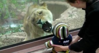 Ein Kind im Zoo: das was die Löwin macht ist kurios...aber auch beunruhigend
