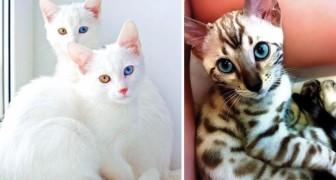 De 19 Mooiste, Maar Duurste Katten Ter Wereld, Voor Astronomische Prijzen Waarvan Je Alleen Maar Durft Te Dromen