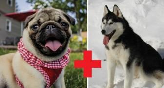 Cosa avviene se un carlino si incrocia con un cane di un'altra razza?