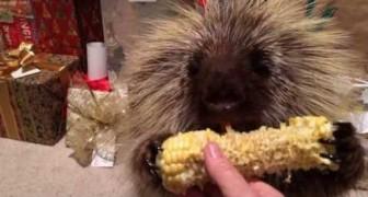 Animalzinho comedor de milho