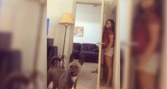 Das Mädchen spielt mit dem Hund Verstecken: seine Suche ist urkomisch