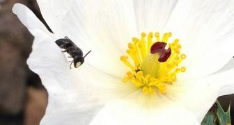 Moria delle api: per la prima volta un ente ufficiale le dichiara in pericolo di ESTINZIONE