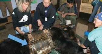 Un orso vive per anni intrappolato in una cinta di metallo: ecco i suoi primi passi sull'erba