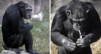 Fuma 20 sigarette al giorno: ecco la scimpanzé che è divenuta la Star della Corea del Nord