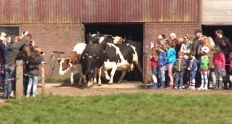Ces vaches voient enfin  le ciel après 6 mois:  regardez comment elles réagissent