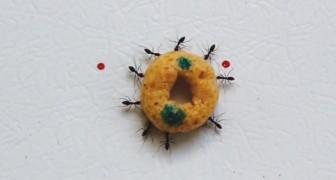 Ver este grupo de formigas em ação é encantador: quanta inteligência!